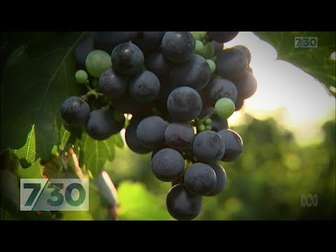 China's Ambition To Become The World's Biggest Wine Maker | 7.30