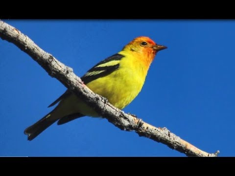 Tropical Birds Making Extended Migration Stay In Colorado