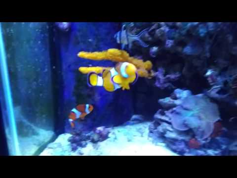 How I Keep 4 Clown Fish In A Tank