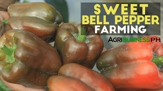 How to raise red bell peppers | Agriculture Philippines