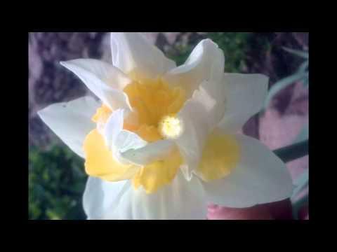 Нарцисс.  Изящный и изысканный цветок на вашей клумбе.  Сорта  + фото.