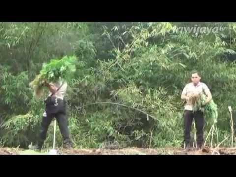 Polisi Kembali Temukan Ladang Ganja Setengah Hektar Di Muratara Mp3