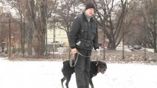 Дрессировка больших собак: советы специалиста . Все О Домашних Животных.