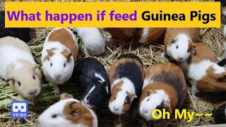 3D 180VR 4K Watch What Happen If feed Cute Guinea Pigs? 3 2 1 Countdown Oh my Food Amazing Overeater