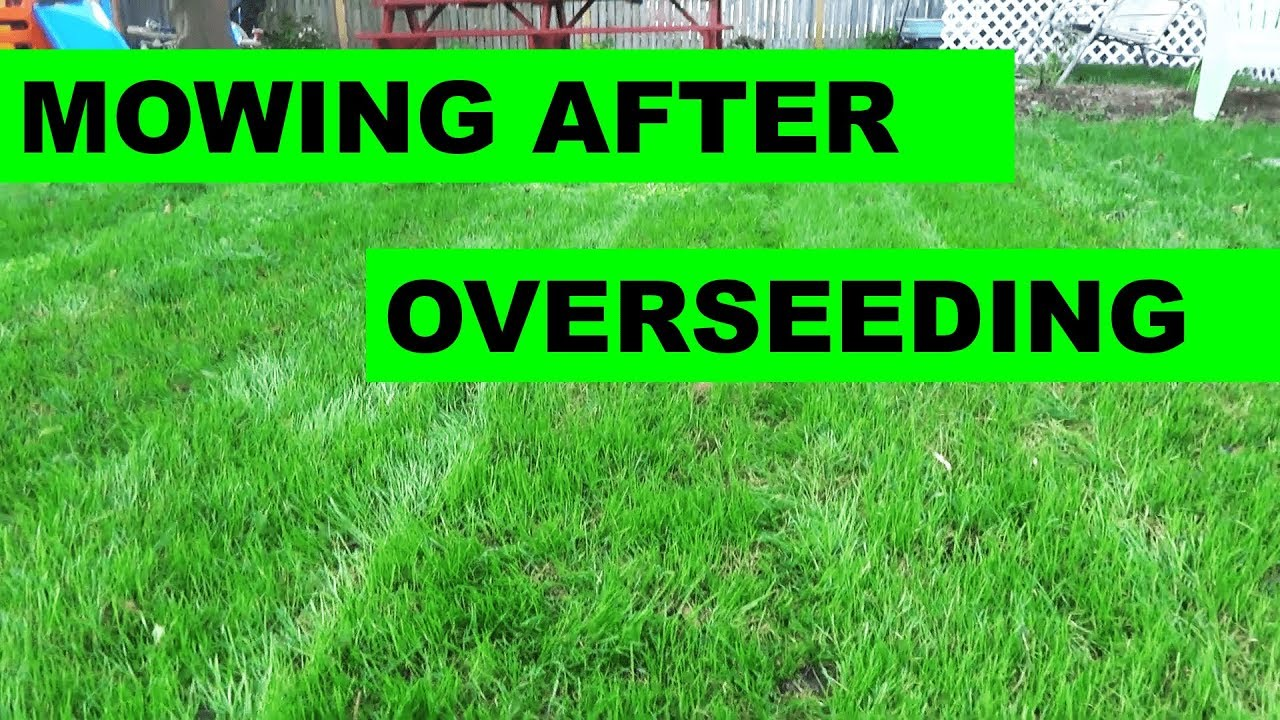 When To Mow After An Overseed