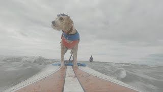 Talented Therapy Dog Loves Surfing