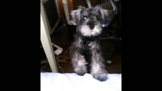 Miniature Schnauzer Barking -mr. Weasley