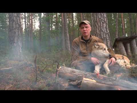 Выбор пули для охоты с лайкой.Охотничья страсть на грани жизни и смерти.