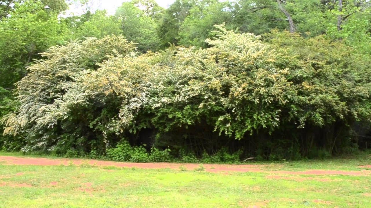 how to cut back a privet hedge