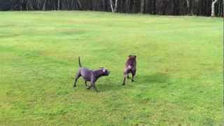 Blue Staffordshire Bull Terrier And American Pit Playing On Park Not Fighting U.k