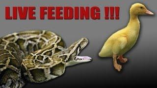 [HD] Burmese Python eat duck - live feeding [GRAPHIC]