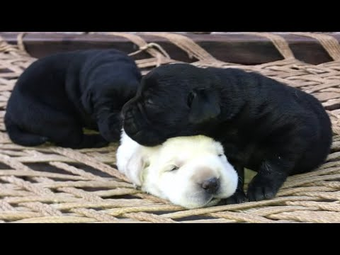 Free Labrador / Doberman / German Shepherd Puppies for Royal Soldier channel family (Subscribers)