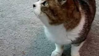 猫 デブでかわいい fat funny  cute cat はな vol、4