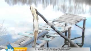 """В """"нижегородском байкале"""" вся рыба уснула вечным сном"""