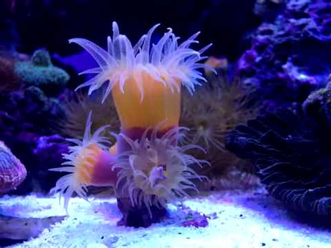 Sun Coral Trying To Eat Asterina Starfish