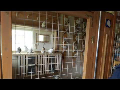 Vizit Vitoldas pigeons lofts in Vilnius Lithuania