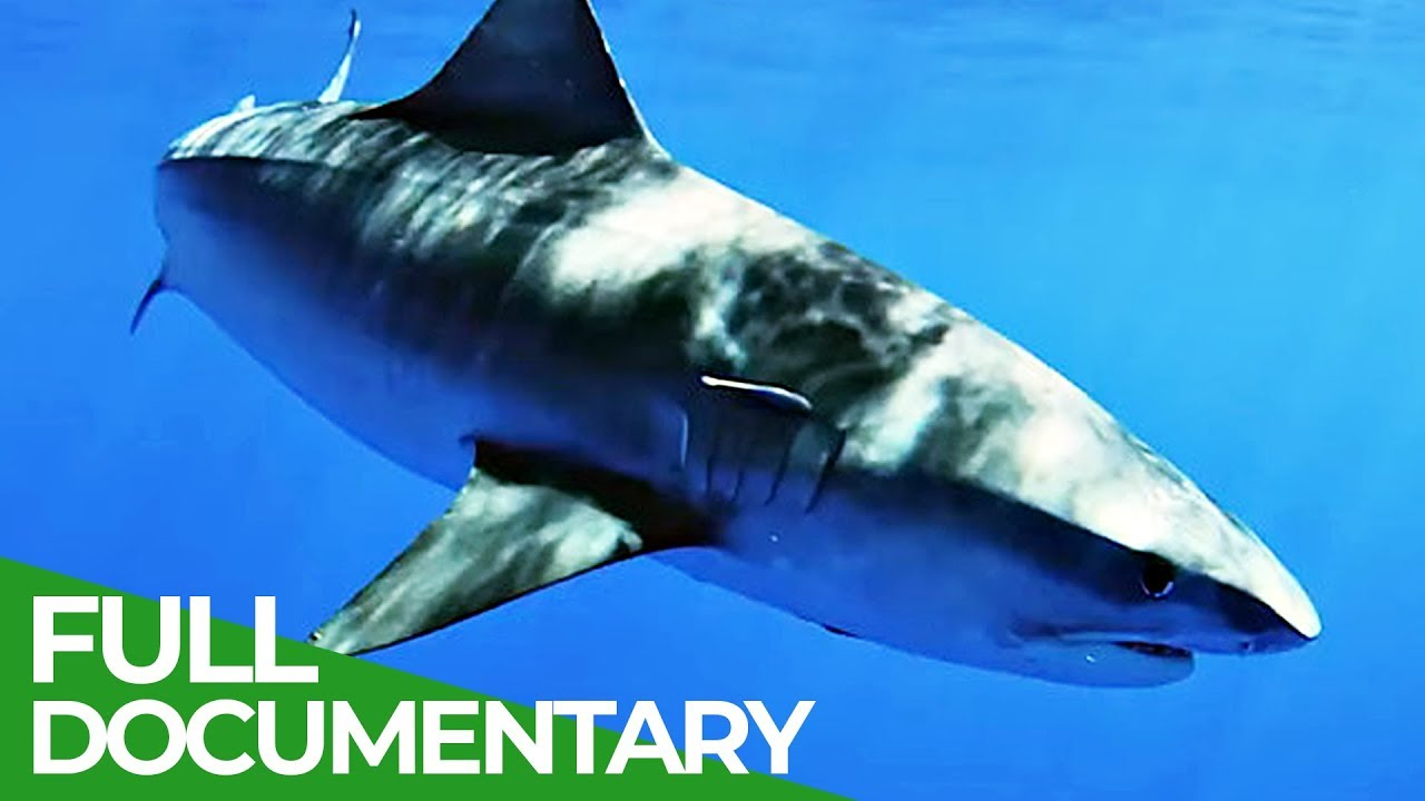 Tagging Tiger Sharks | Ocean Vet | S01 E03 | Free Documentary Nature