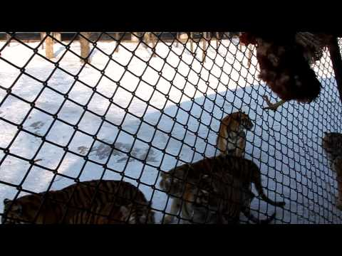 Harbin Siberian Tiger Park live feeding