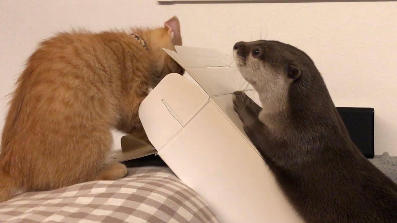 カワウソさくら 有料になり高級となったビニール袋をは2人でボコボコにするカワウソ達  Otter and cat have fun playing in plastic bags