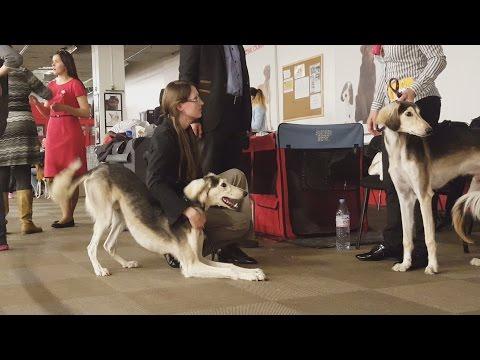САЛЮКИ. Выставка борзых. Апрель 2016 | SALUKI. Sighthound dog show. April 2016