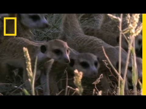 Meerkats vs. Puff Adder | National Geographic