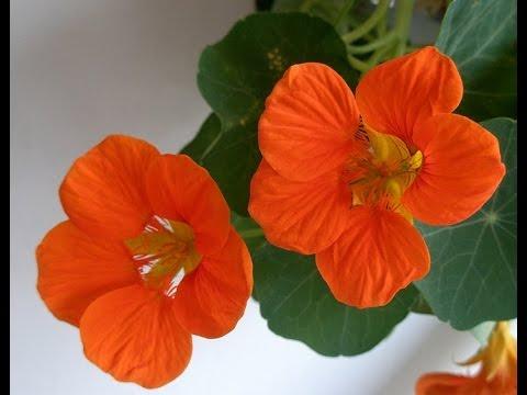 НАСТУРЦИЯ для БАЛКОНОВ. Как посадить и вырастить настурцию, чтобы получить пышное цветение