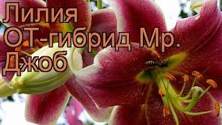 Лилия от-гибрид Мр. Джоб (lilium) ???? лилия Мр. Джоб обзор: как сажать луковицы лилии Мр. Джоб