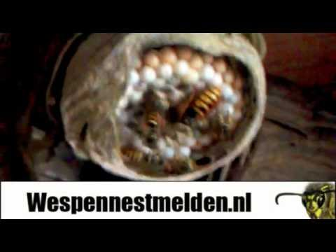 wespennest vespula vulgaris funnycat tv. Black Bedroom Furniture Sets. Home Design Ideas