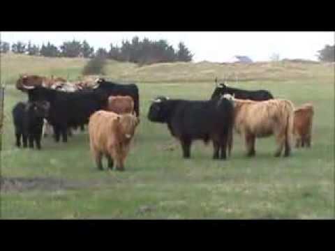 Danish cattle Jutland, Denmark