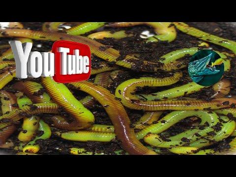 Зелёные черви разводим в квартире. Смотреть полностью.