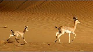 عبيد العوني غزلان صحاري الجزيرة العربية  gazelle arabian desert