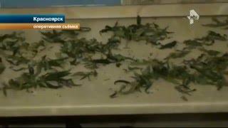 Красноярский наркоман менял коноплю на бананы и груши