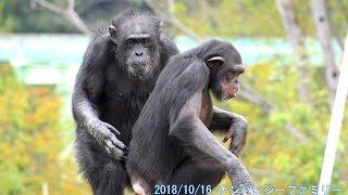 2018/10/16 チンパンジー チンパンジー ゴリラ テナガザルとみんな吠え...