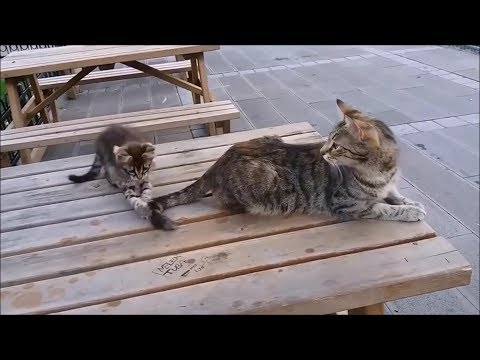 Mama Cat's Reaction to her kitten, When Kitten biting her tail