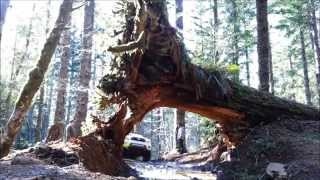 Cedar Tree Trail - Tillamook State Forest - Browns Camp - Oregon
