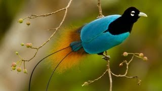 Birds-of-Paradise Project Introduction thumbnail