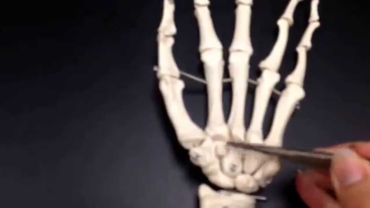 Anatomy - Forearm/Wrist bones and connections - Quizlet