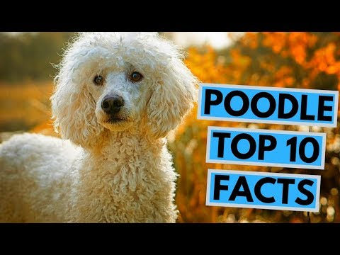 Poodle - TOP 10 Interesting Facts