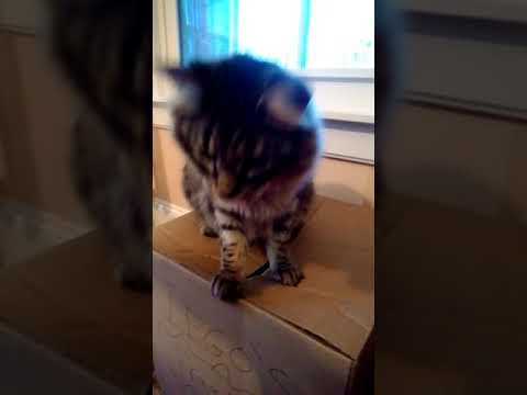 Best cats for cat allergies…the Siberians! Our Siberian kitty exploring..