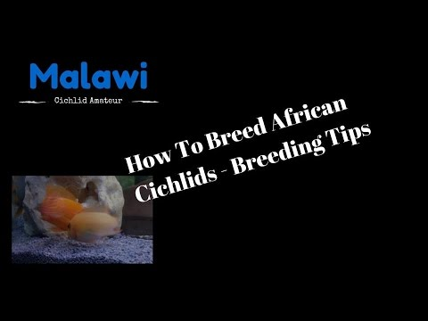 How To Breed African Cichlids - Breeding Tips