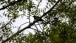 Amar-Pied Fantail pair trying to get rid of an Asian Koel threat.avi