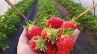 ТЕПЛИЦА для КЛУБНИКИ 3,5х20м. В ней ягода чистая, крупная и сладкая.