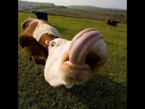 Os animais mais feios e engra ados do yutchube youtube - Photo de vache drole ...