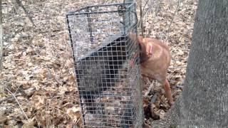 English redtick coonhound working caged coon.