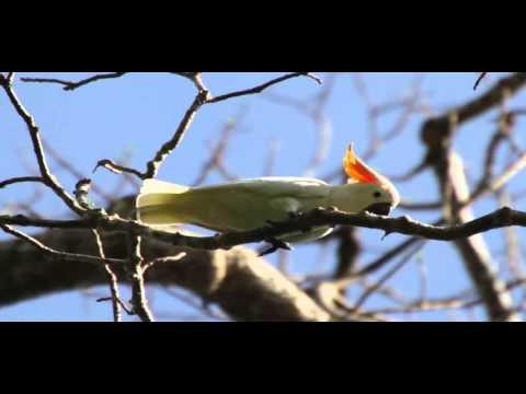 Kakatua Jambul Jingga (Sulphur-crested Cockatoo)