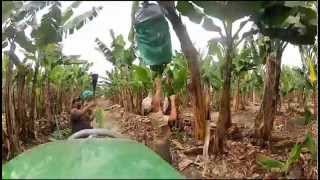 North Queensland - Bananas farm work