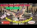 Ciblek Gunung Gacor Roll Spedd Ngebren Untuk Masteran  Mp3 - Mp4 Download