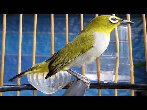 suara Burung pleci untuk memanggil pleci liar