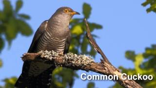 Cuckoo Bird Song and Pictures ~ Common Cuckoo