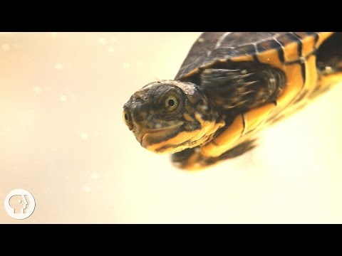 These Crazy Cute Baby Turtles Want Their Lake Back | Deep Look